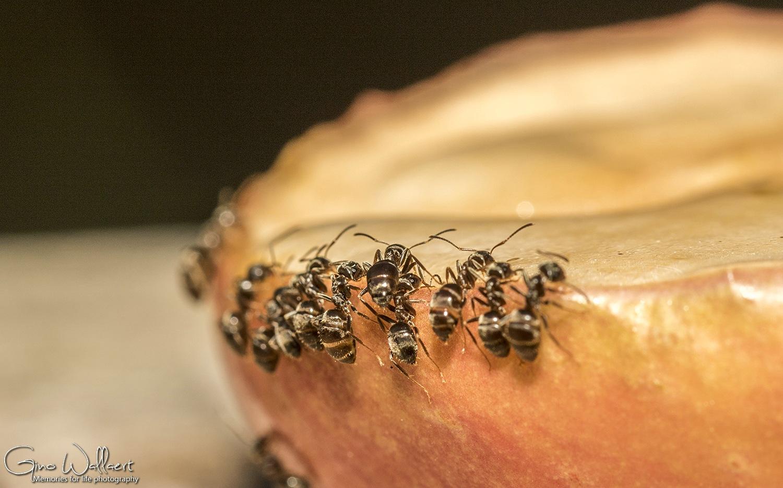 Mieren aan het suikerbuffet