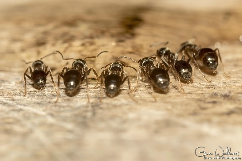 6 mieren op een rij