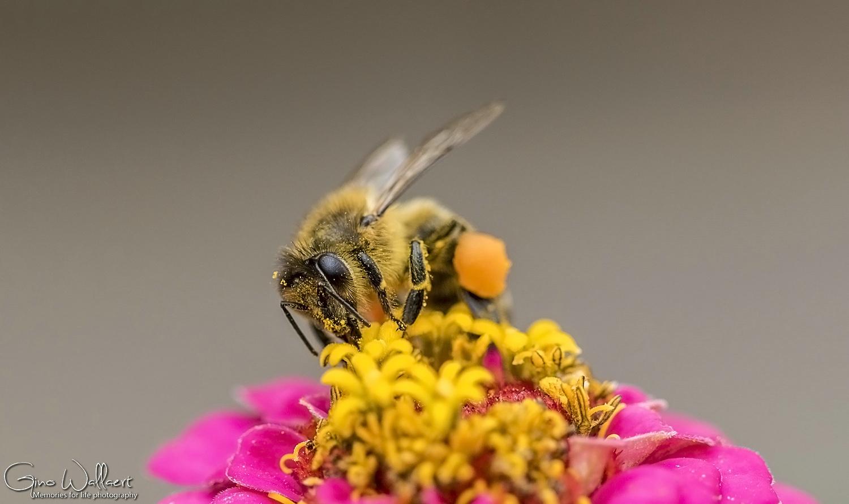 Honingbij op zoek naar nectar