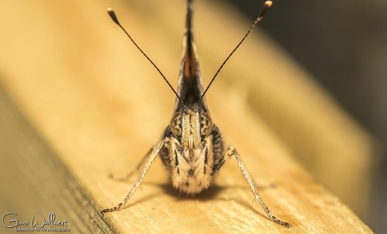 Kop van een vlinder